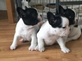 bouledogue-frances-small-0