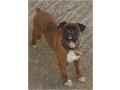 cachorro-boxer-tigrado-small-0