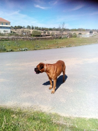 cachorro-boxer-tigrado-big-1
