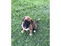 cachorro-boxer-camurca-small-6