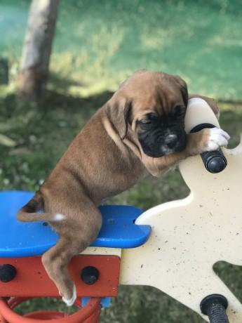 cachorro-boxer-camurca-big-9