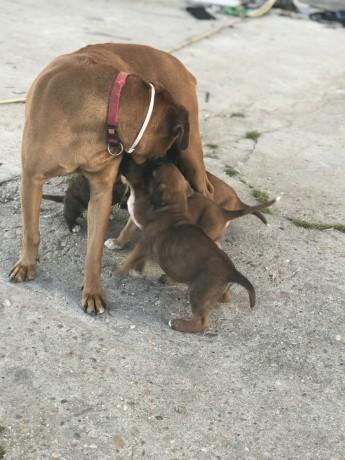 cachorro-boxer-camurca-big-2