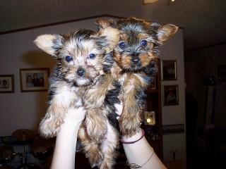 Temos cachorros Yorkshire terrier disponíveis