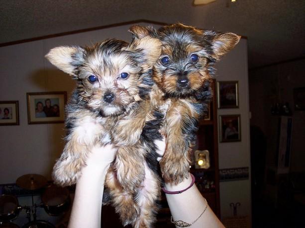 temos-cachorros-yorkshire-terrier-disponiveis-big-0