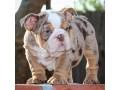 filhotes-de-bulldog-ingles-lindo-disponiveis-small-3