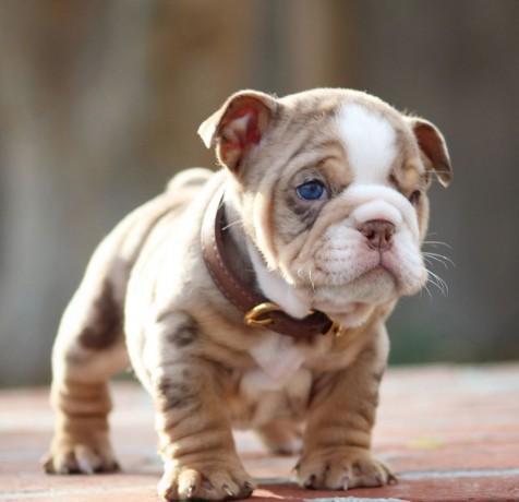 filhotes-de-bulldog-ingles-lindo-disponiveis-big-2