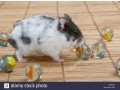 hamsters-anoes-campbelli-small-0