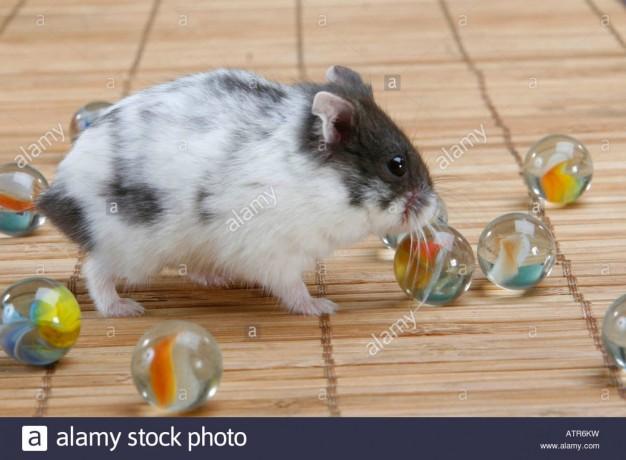 hamsters-anoes-campbelli-big-0