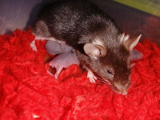 Ratinhos camudongos