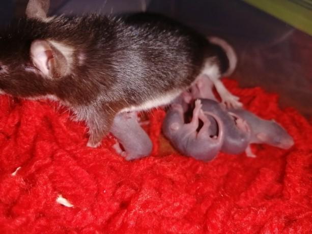 ratinhos-camudongos-big-2