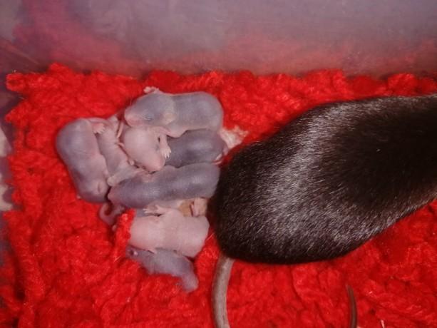 ratinhos-camudongos-big-1