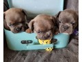 bulldog-frances-cachorros-varias-cores-small-0