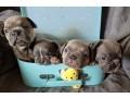 bulldog-frances-cachorros-varias-cores-small-1