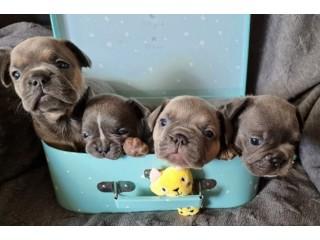 Bulldog Françês cachorros - várias cores.