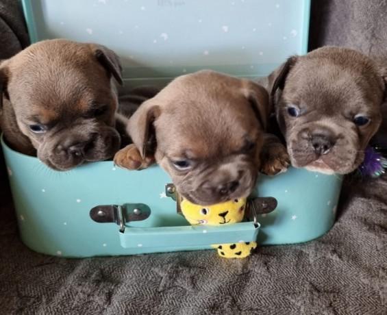 bulldog-frances-cachorros-varias-cores-big-0
