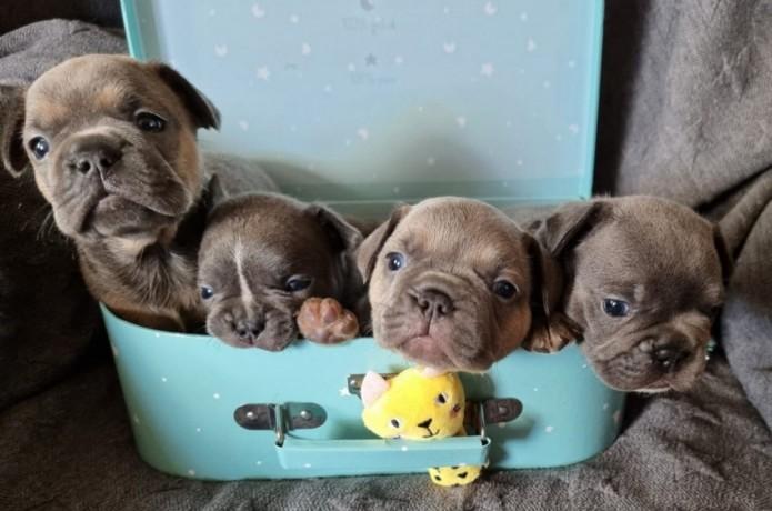 bulldog-frances-cachorros-varias-cores-big-1