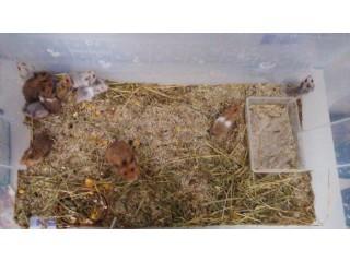 Hamsters bebés