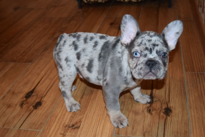 bulldog-frances-criado-em-ambiente-familiar-disponible-big-0