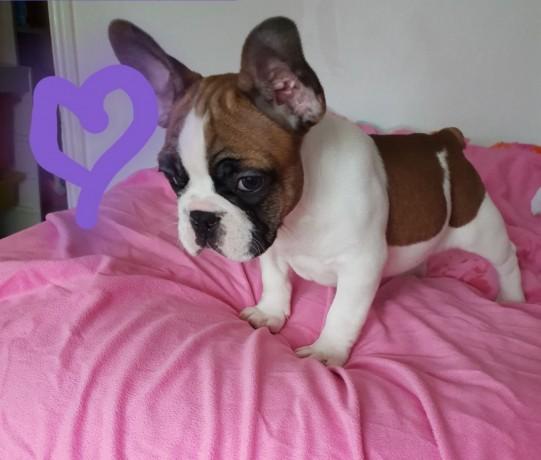 bulldog-frances-criado-em-ambiente-familiar-disponible-big-1