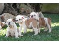 bulldog-ingles-excelente-cachorros-small-0