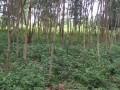 terreno-vacio-con-plantaciones-de-madera-small-6