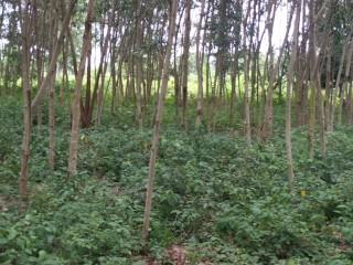 Terreno vacío con plantaciones de madera