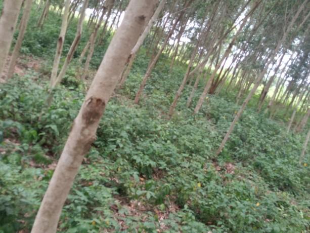 terreno-vacio-con-plantaciones-de-madera-big-3