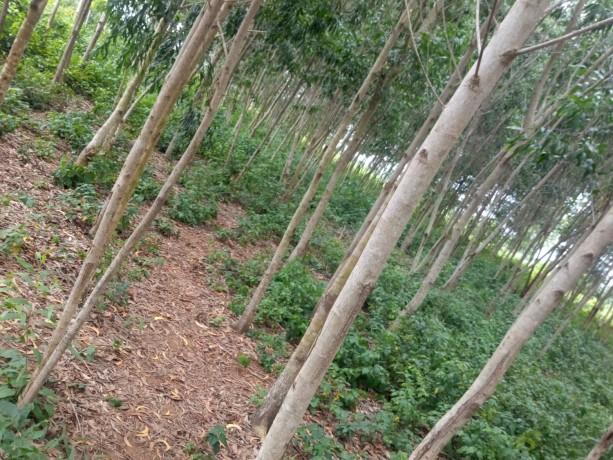 terreno-vazio-com-plantacao-de-madeira-big-1
