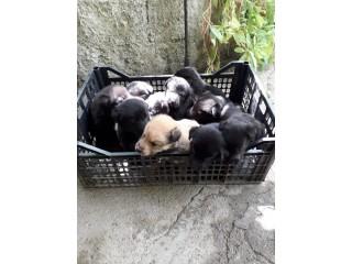 Cães bebés de raça pastor belga
