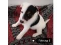 fox-terrier-de-pelo-liso-small-3