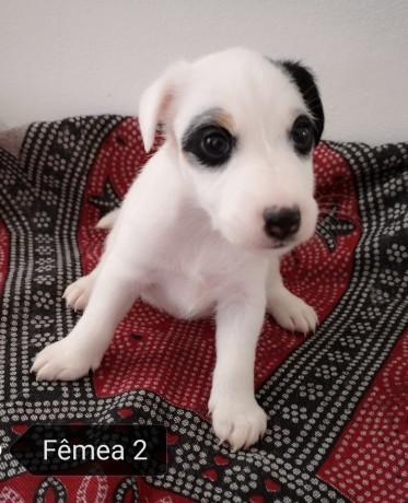 fox-terrier-de-pelo-liso-big-2