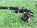 gentil-filhotes-de-pastor-alemao-disponiveis-small-0